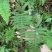 Phegopteris excelsior - Photo (c) Aaron Marcus, todos los derechos reservados