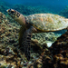 Hawksbill Sea Turtle - Photo (c) Nikita Saprykin, all rights reserved