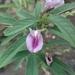 Clitoria triflora - Photo (c) Eduardo Ruiz-Sanchez, todos los derechos reservados