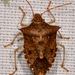Dusky Stink Bug - Photo (c) amoorehouse, all rights reserved