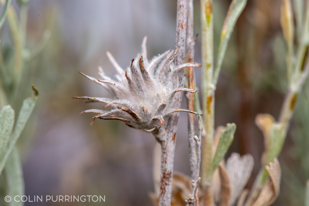 Cottony rosette gall on Wyoming big sagebrush