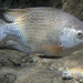 Blue Tilapia - Photo (c) Neil DeMaster, some rights reserved (CC BY-NC-ND)