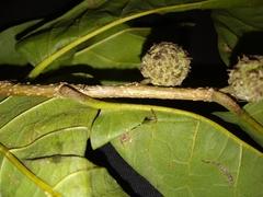 Maclura tinctoria image