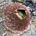 Pink Volcano Barnacle - Photo (c) peters4, all rights reserved