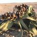Welwitschia mirabilis - Photo (c) Emanuele Biggi, todos os direitos reservados