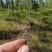 Lechea torreyi congesta - Photo (c) ungberg, όλα τα δικαιώματα διατηρούνται