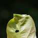 Caloptilia ryukyuensis - Photo (c) Antoine Guiguet, todos los derechos reservados