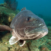 Giant Sea Bass - Photo (c) Phil Garner, all rights reserved