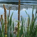 Narrow-leaved Cattail - Photo (c) Joshua Lincoln, all rights reserved