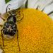 Trichiotinus affinis - Photo (c) Joshua Lincoln, todos los derechos reservados