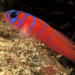Blue-banded Goby - Photo (c) Phil Garner, all rights reserved