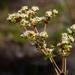 Eriogonum tomentosum - Photo (c) Scott Simmons, כל הזכויות שמורות