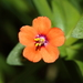 Scarlet Pimpernel - Photo (c) chausinho, some rights reserved (CC BY-NC-SA)