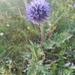 Echinops latifolius - Photo (c) Назар Семигузов, todos los derechos reservados