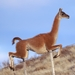 Guanaco - Photo (c) Fede Gregorio, all rights reserved