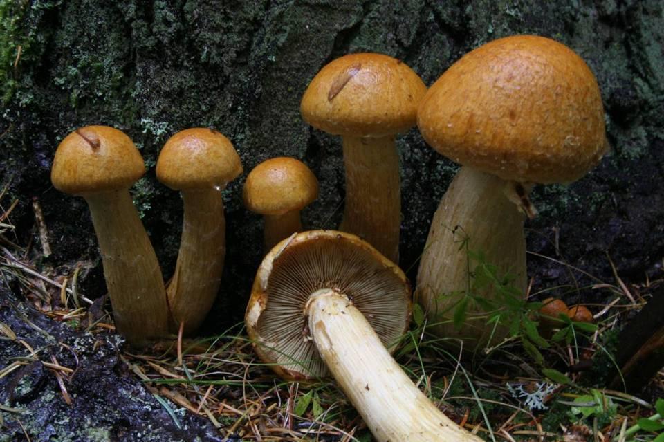 Gymnopilus viridans (Find A Free Trip) · iNaturalist org