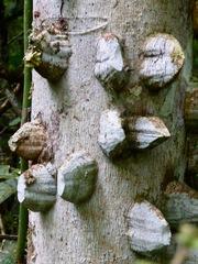 Zanthoxylum setulosum image