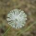 Allium - Photo (c) Anna Fedorova, todos los derechos reservados