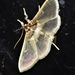 Apilocrocis brumalis - Photo (c) Luis Daniel Santana Moreno, כל הזכויות שמורות
