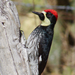 Narrow-fronted Acorn Woodpecker - Photo (c) Gerardo Marrón, all rights reserved