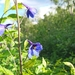 Delphinium cultorum - Photo (c) Johannes Hansen, all rights reserved