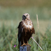 Western Marsh-Harrier - Photo (c) Liesbeth, all rights reserved