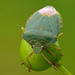 Green Shield Bug - Photo (c) Darius Baužys, some rights reserved (CC BY)