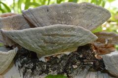 Daedaleopsis tricolor image