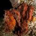תמנון פסיפי ענק - Photo (c) Phil Garner, כל הזכויות שמורות