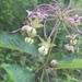 Asclepias exaltata - Photo (c) JD Ruehling, όλα τα δικαιώματα διατηρούνται