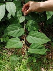 Guazuma ulmifolia image