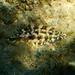 Symphodus roissali - Photo (c) Pasquale Liccardo, todos los derechos reservados