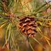 Pinus virginiana - Photo (c) Ram-Man, μερικά δικαιώματα διατηρούνται (GFDL)