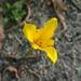 Tigridia dugesii - Photo (c) Eduardo Ruiz-Sanchez, todos los derechos reservados