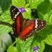 Mariposa Pavo Real Roja - Photo (c) David Foster, todos los derechos reservados