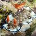 Hypselodoris bollandi - Photo (c) Phil Garner, all rights reserved