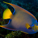 Queen Angelfish - Photo (c) Phil Garner, all rights reserved
