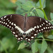 Palamedes Swallowtail - Photo (c) Mark + Holly Salvato, all rights reserved