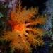 Cucumaria miniata - Photo (c) lexinecar, todos los derechos reservados