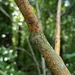 Dogwood Golden Canker - Photo (c) Gary Walton, all rights reserved