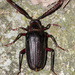 Tile-horned Prionus - Photo (c) Eric Williams, all rights reserved