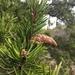Pinus banksiana - Photo (c) pampoum, todos los derechos reservados
