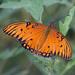 Mariposa Pasionaria Motas Blancas - Photo (c) Juan Miguel Artigas Azas, todos los derechos reservados