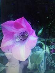 Symbolanthus pulcherrimus image