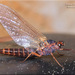 Prong-gilled Mayflies - Photo (c) Alain Hogue, all rights reserved