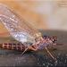 Leptophlebiidae - Photo (c) Alain Hogue, todos los derechos reservados