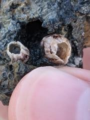 Amphibalanus amphitrite image