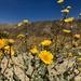 Desert Gold - Photo (c) danisattler, all rights reserved