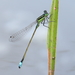 Rambur's Forktail - Photo (c) Graham Montgomery, all rights reserved