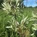 Salix petiolaris - Photo (c) Josh Sulman, todos los derechos reservados